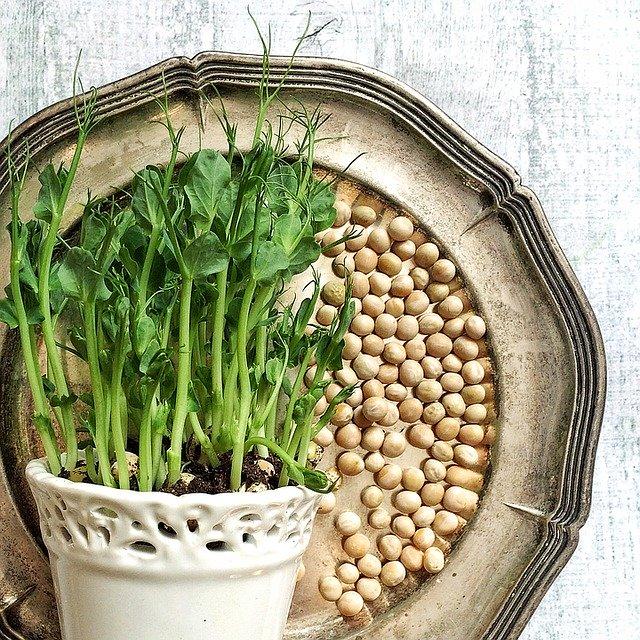 semena a výhonky hrachu